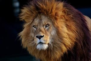 lion-3040797_1920