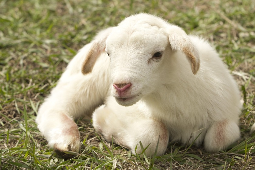 lamb-2216160_1920